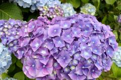 Blaue Hortensien im Garten